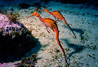 Weedy Seadragons, Phyllopteryx taeniolatus, Pair of Seadragons foraging near seabed, Jervis Bay, New South Wales, Australia, Pacific Ocean