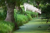 Europe/France/Poitou-Charentes/79/Deux-Sèvres/Environs de Coulon: Marais Poitevin , une vache boit dans une conche