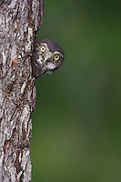 Ferruginous Pygmy-Owl, Glaucidium brasilianum, young looking out of nesting cavity, Willacy County, Rio Grande Valley, Texas, USA