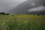 Alpine meadow, Imst district, Tyrol/Tirol, Austria, Alps.