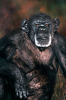 616509016 portrait of an adult chimpanzee pan troglodytes species is endangered this animal is a wildlife rescue