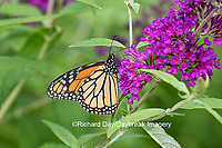 03536-05607 Monarch Butterfly (Danus plexippus) on Butterfly Bush (Buddleia davidii),  Marion Co., IL