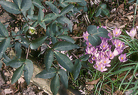 Helleborus sternii Blackthorn Group + Crocus tommasinianus