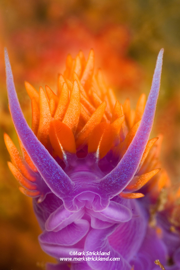 Close up of a Spanish Shawl Nudibranch, Flabellina iodinea, Santa Cruz Island, Channel Islands, California, USA, Pacific Ocean