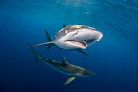 silky shark, Carcharhinus falciformis, Gardens of the Queen, Jardines de la Reina, Jardines de la Reina National Park, Cuba, Caribbean Sea, Atlantic Ocean