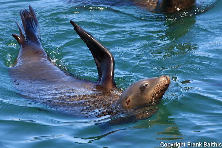 California sea lion, Santa Cruz