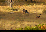 Mule Deer Doe and Fawn, Black-tailed Deer, Odocoileus hemionus, Sunrise Point, Bryce Canyon National Park, Utah