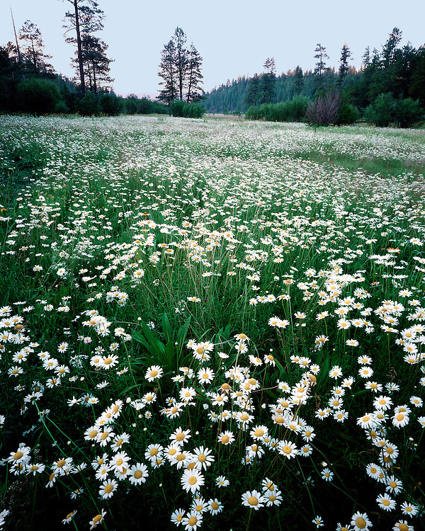 Field of Oxeye Daisies (Chrysanthemum leucanthemum) along the Black River; Apache-Sitgreaves National Forest, AZ