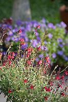 Red flower Salvia greggii (sage) in herbalist garden