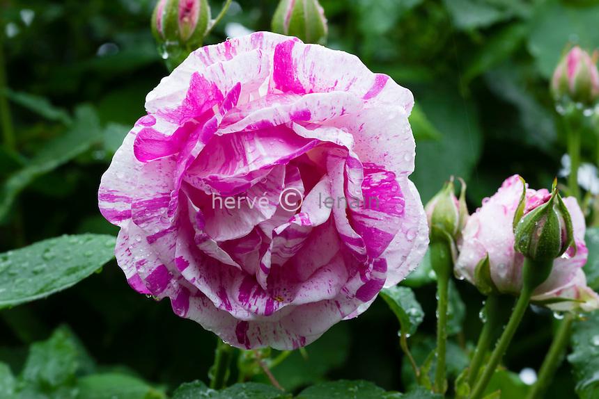 Rose 'Gros Provins Panaché'