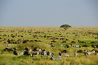 3MB816  Plains Zebra and wildebeast on Serengeti Plains,  Tanznia.
