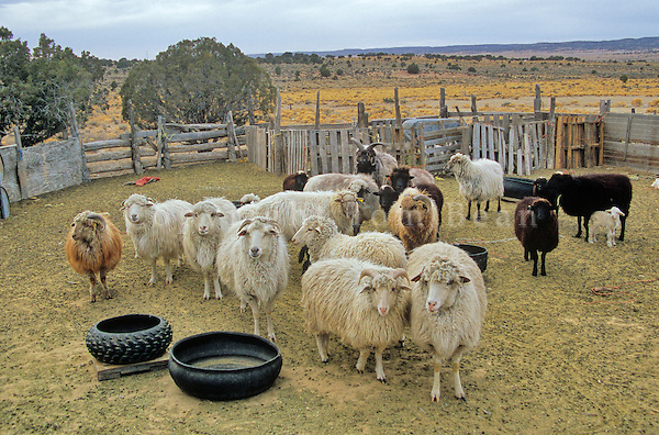 Flock of Navajo Churro sheep in corral at home of Edith Simonson at Hardrock, Navajo Nation, Arizona, AGPix_626.