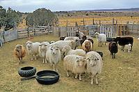 Flock of Navajo Churro sheep in corral at home of Edith Simonson at Hardrock, Navajo Nation, Arizona, AGPix_626.