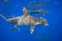 scalloped hammerhead, Sphyrna lewini, female, schooling, note a patch of red parasitic copepods behind first dorsal fin, endangered species, Keauhou, Kona Coast, Big Island, Hawaii, USA, Pacific Ocean