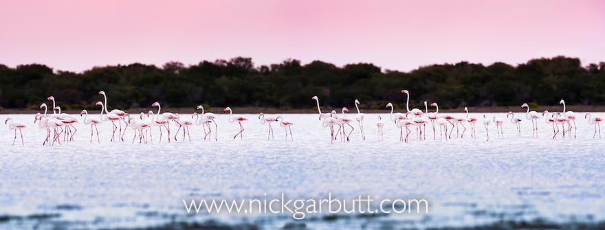 Flock of Greater Flamingos (Phoenicconaias ruber) feeding on Lac Tsimanampetsotsa, south west Madagascar. (digitally stitched image)