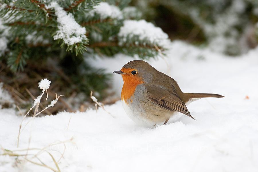 Rotkehlchen, im Winter bei Schnee, Erithacus rubecula, robin
