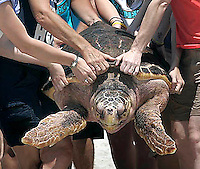 Volunteers struggle to return a turtle back to the ocean at Topsail Island during the annual turtle release.