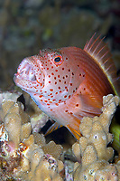 Forsters hawkfish paracirrhites forsteri perched on a coral outcrop, Koh Bon, Andaman Sea, Indian Ocean, Thailand, Asia