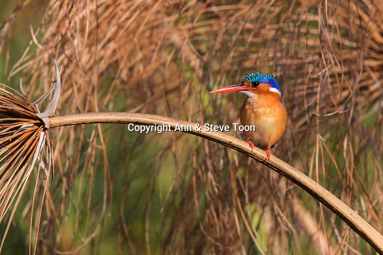 Malachite kingfisher (Alcedo cristata), Chobe river, Botswana, June 2017