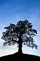 English Oak tree {Quercus robur} silhouetted against a blue sky. Peak District National Park, Derbyshire, UK. October.