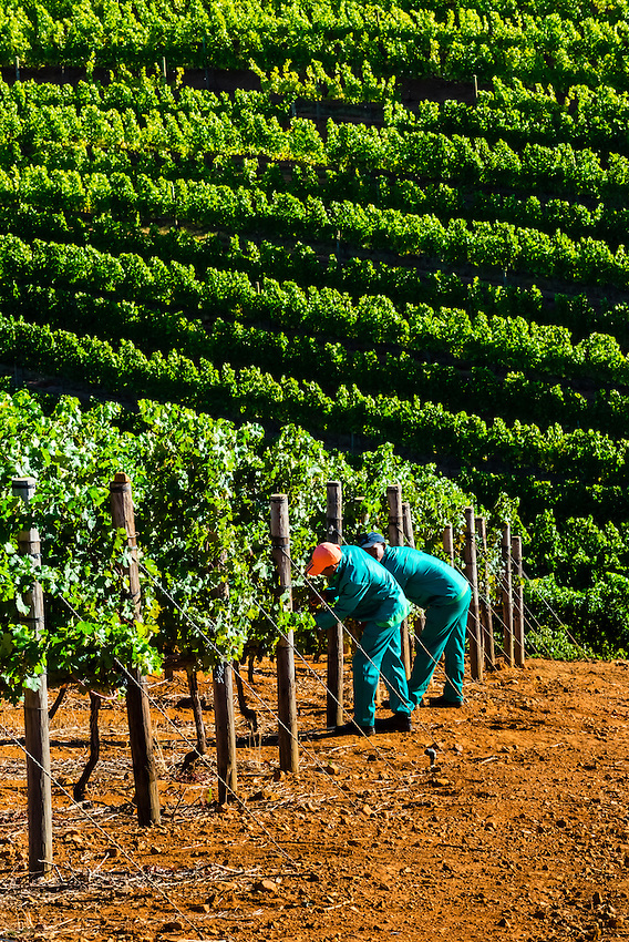 Picking Cabernet Sauvignon grapes during the wine harvest at Delaire Graff Wine Estate atop Helshoogte Pass, near Stellenbosch, Cape Winelands (near Cape Town), South Africa.