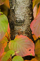 Pagoda Dogwood leaves surround a Birch tree trunk at Newport State Park in Door County, Wisconsin