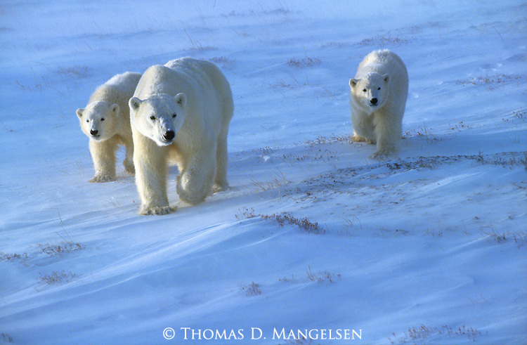 A polar bear and cubs walk across the tidal flats in Wapusk National Park, Manitoba, Canada.