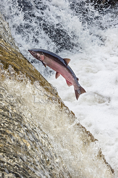 Coho or silver salmon (Oncorhynchus kisutch) during fall spawning migration trying to jump river falls.  Pacific Northwest.  October.  Wild fish not hatchery fish.