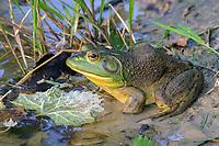 Bullfrog (Lithobates catesbeianus or Rana catesbeiana)