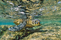 Green Sea turtle (Chelonia mydas) feeding on algae along shoreline rocks.  Hawaii.