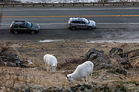 Dall Sheep ewes feed on grass at Windy Corner area south of Anchorage, Alaska in winter in the Chugach Mountains in Chugach State Park. Vehicles/cars stop to take photos along the Seward highway, Turnagain Arm ice floes and Kenai Mountains in the background.  Southcentral, Alaska<br /> <br /> Photo by Jeff Schultz/SchultzPhoto.com  (C) 2018  ALL RIGHTS RESERVED