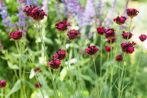 Dianthus cruentus