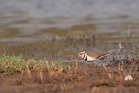 Three-banded plover (Charadrius tricollaris)...Ndumo Game Reserve, Kwazulu-Natal, South Africa. November 2010.