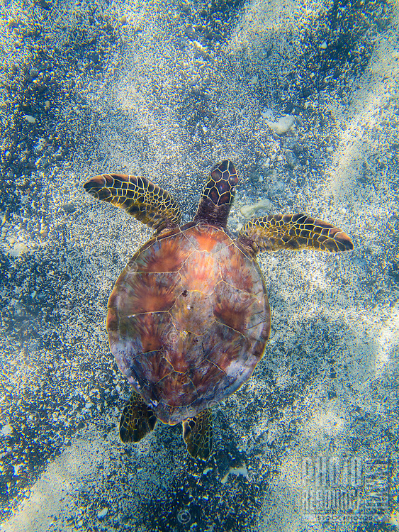 A snorkeler's view of a green sea turtle (or honu) swimming across the sandy ocean floor, Big Island.