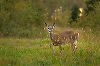 White-tailed fawn feeding in an autumn field.
