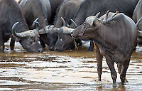 Cape buffalo in the Sand River at MalaMala.