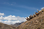 Llamas on a hillside in the Andes near Lares, PERU