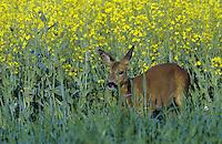 Europäisches Reh, Rehwild, Reh-Wild, Weibchen, Ricke im Rapsfeld, Capreolus capreolus, roe deer
