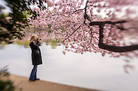 Cherry Blossoms Tidal Basin Washington DC