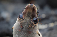 qs40428-D. Galapagos Sea Lion (Zalophus wollebaeki). Galapagos Islands, Ecuador, Pacific Ocean.<br /> Photo Copyright &copy; Brandon Cole. All rights reserved worldwide.  www.brandoncole.com