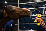 Cristallo A LM at the stables of the Longines Hong Kong Masters 2015 at the AsiaWorld Expo on 15 February 2015 in Hong Kong, China. Photo by Moses Ng / Power Sport Images