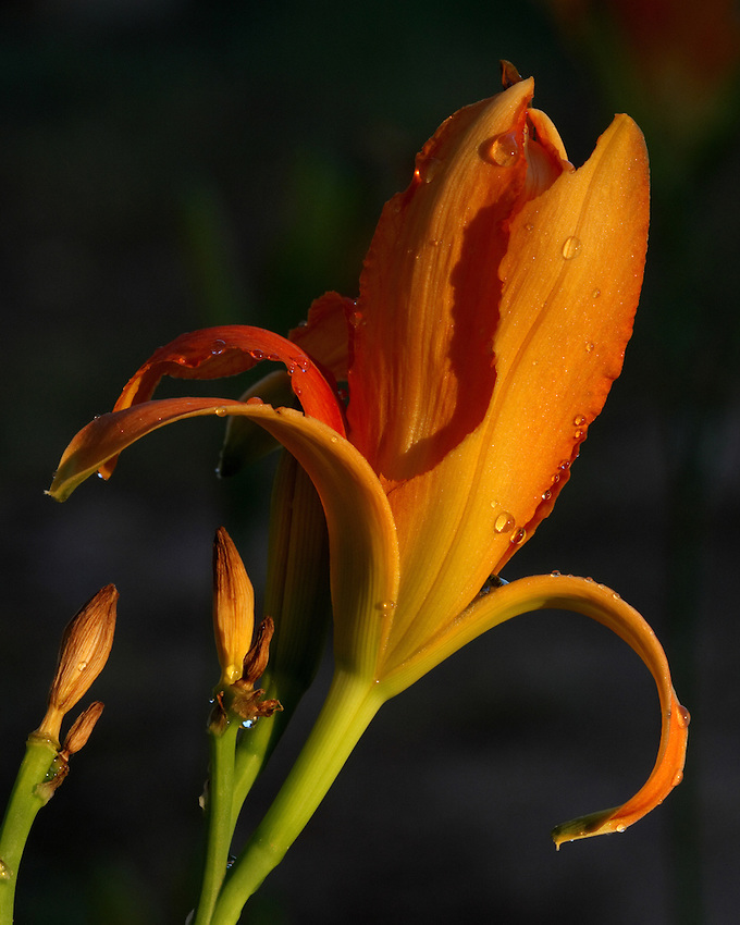 Even imperfection itself may have its ideal or perfect state.<br /> Here the flowers petal is partially eaten away by grasshoppers..<br /> Daylily is the common name of the species, hybrids and cultivars of the genus Hemerocallis.