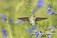 01162-15115 Ruby-throated Hummingbird (Archilochus colubris) at Blue Ensign Salvia (Salvia guaranitica ' Blue Ensign') in Marion County, IL