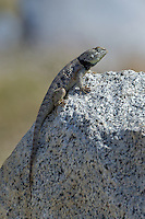 442800031 a wild yellow-backed spiny lizard sceloparus uniformis perches on a granite rock along chalk bluffs road in  inyo county california