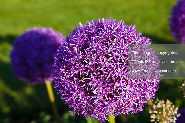 A Purple Allium is pictured in Ogunquit, Maine Friday June 14, 2013. Allium is a monocot genus of flowering plants, informally referred to as the onion genus.