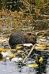 Beaver, Caster canadensis;
