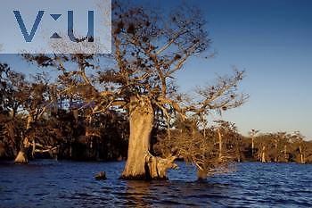 Baldcypress -Swamp Cypress- in decidous tree during the winter. ,Taxodium distichum, Blue Cypress Lake, Florida