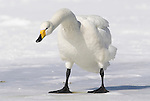Whooper swan, Cygnus cygnus, standing on ice, lake Kussharo-ko, Hokkaido Island, Japan, japanese, Asian, wilderness, wild, untamed, ornithology, snow, graceful, majestic, aquatic. .Japan....