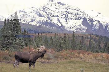 Bull Moose rutting, lip curl (Alces alces gigas) Alaska, USA