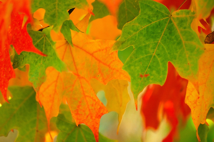 Fall Leaves No. 3 Taken in Virginia  on Fuji Velvia 100 film